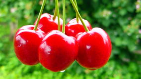 Red cherries bunch rotation Stock Photo