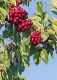 Red cherries clusters on tree branch in orchard with blue sky royalty free stock images