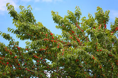 Red cherries on fruit tree. Stock Images