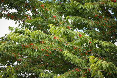 Red cherries on fruit tree. Royalty Free Stock Image