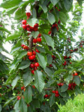 Red cherries growing on the tree branch Stock Photo