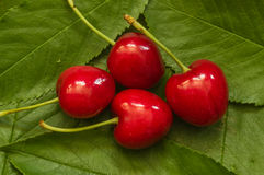 Red Cherries On Leaves Royalty Free Stock Image