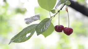 Red cherries in rain. Two ripe cherries on branch under summer rain stock video