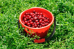 Red Cherries on red bucket Royalty Free Stock Photo