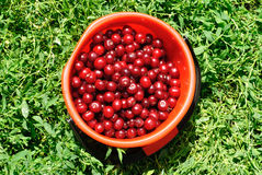 Red Cherries on red bucket Stock Photo