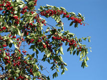 Red cherries on a tree. With blue sky as a background royalty free stock image