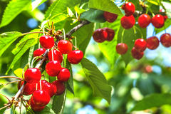 Red cherries on a tree branch Royalty Free Stock Photo