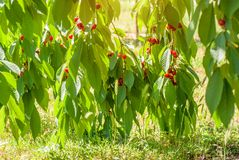 Red cherries on a tree branch Stock Photos