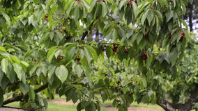 Red cherries on a tree stock video footage