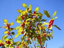 Red cherries trees growing stock images