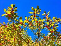 Red cherries trees growing royalty free stock photo