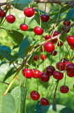 Red cherries with waterdrops Royalty Free Stock Images