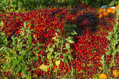 Red Cherries & Yellow Plums. Compost pile of rotten red cherries and yellow plums on the ground Royalty Free Stock Photography