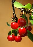Red Cherry. One Cherry truss with green leaves Stock Images