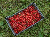 Red cherry. Container of fresh red cherries Stock Photography