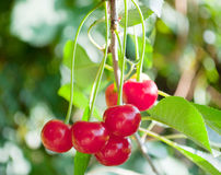 Red cherry. On a branch Stock Photography