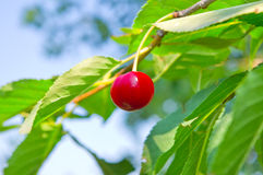 Red cherry. On a branch in early summer stock photo