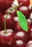Red cherry . Stock Photography