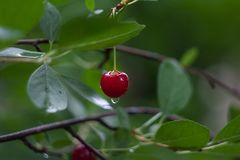 Red cherry after rain on a branch on a green background royalty free stock photography