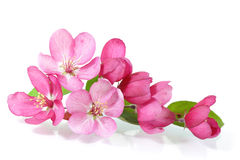 Red Cherry Blossom Royalty Free Stock Photo