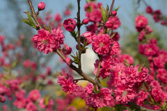 Red cherry blossom. Beautiful Sakura or red cherry blossom branch Stock Photography