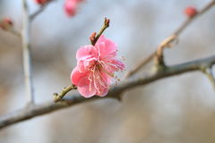 Red cherry. Blossoms look less pure than white cherry blossoms, more than a tender and charming Stock Photo