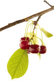 Red cherry on branch Stock Photos