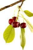 Red cherry on branch Royalty Free Stock Photos
