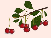 Red cherry branch Stock Photo