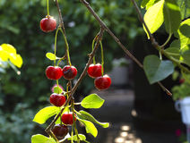 Cherry on a branch Royalty Free Stock Photo