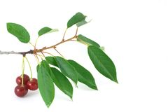Red cherry branch isolated Stock Image