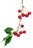 Red cherry branch Stock Images