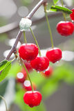 Red cherry branch with raindrops. Ripe berries fruit tree after rain, summer time garden background. Selective focus Royalty Free Stock Photography