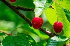 Red cherry on branch royalty free stock photography