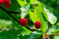 Red cherry on branch stock photography