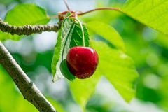 Red cherry on branch stock image