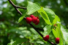 Red cherry on branch royalty free stock image