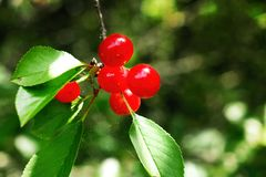 Red cherry. Cherries on the tree. Cherry tree with fruits Stock Image