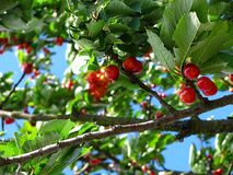 Red Cherry Fruit on Brown Tree Branch Stock Photography