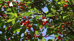 Red cherry fruit at tree stock video