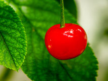 The red cherry. Red cherry hanging from the tree Royalty Free Stock Photos