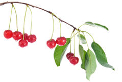 Red cherry with leaves and water drops Royalty Free Stock Images