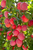 Red cherry plum Stock Images