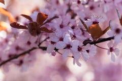 Red cherry plum Prunus cerasifera Stock Photography