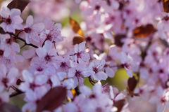 Red cherry plum Prunus cerasifera Royalty Free Stock Photography