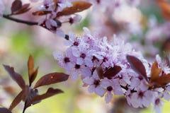 Red cherry plum Prunus cerasifera Royalty Free Stock Photos
