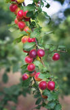 Red cherry plum Royalty Free Stock Photography
