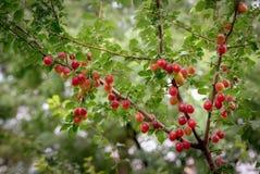 Red cherry plum Stock Photos