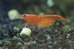 Red cherry shrimp Royalty Free Stock Photos