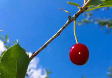 Red Cherry. Sweet red cherry ripe in the garden Stock Image